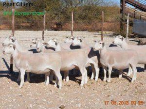 Upington Businesses   Peet Cilliers - Wit Dorperstoet